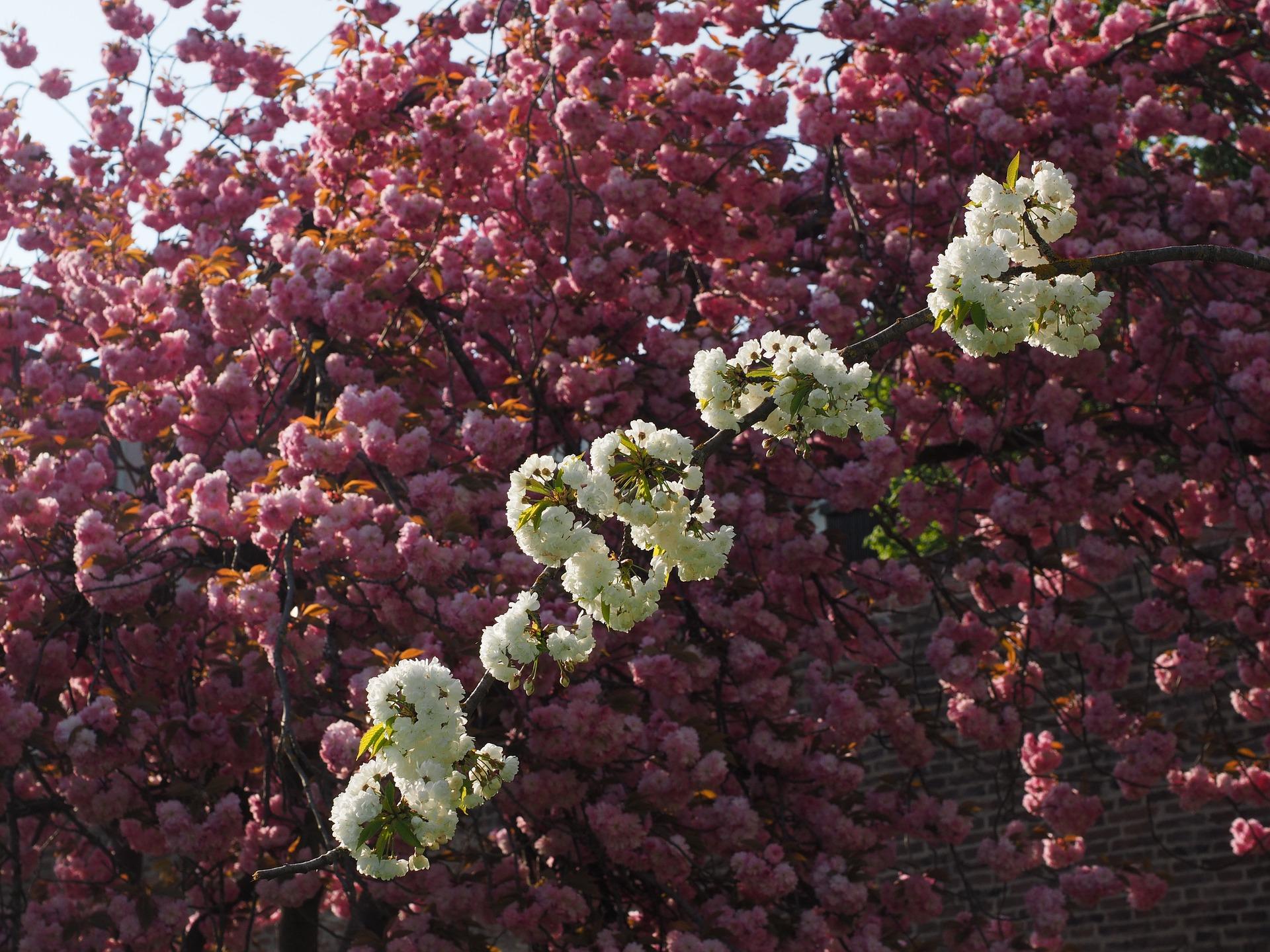 cherry-blossom-1260624_1920